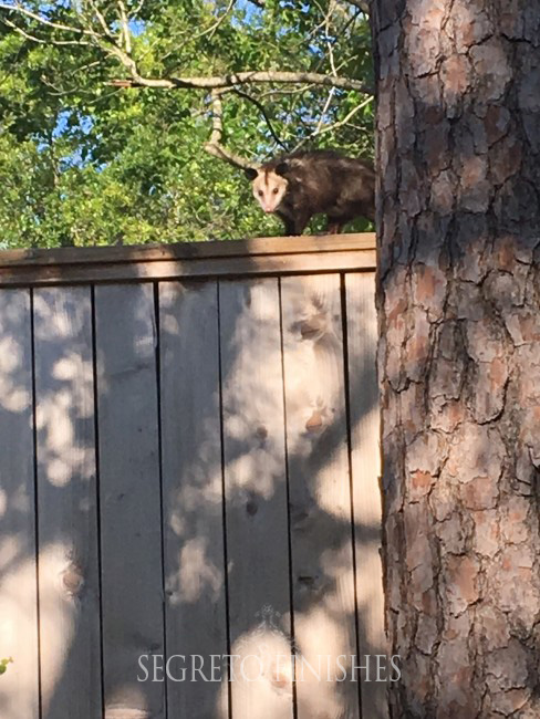 Segreto Secrets - Father's Day Office Makeover - Opossum on Fence